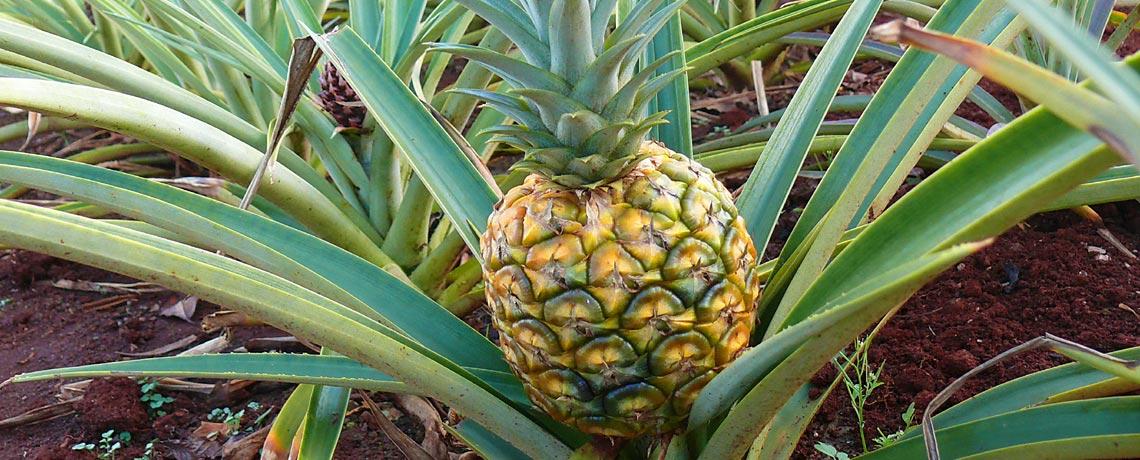 Import of mango, pineapple, papaya and guava - Real Food